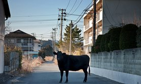 Cow in Namie