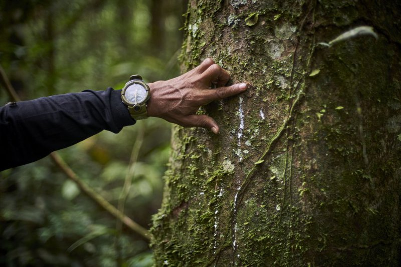 José Gregorio shows sap from a rubber tree in the jungle that the G.I.A. oversees. In the past, rubber was one of the most profitable businesses in the Amazon and one of the most harmful for the communities.