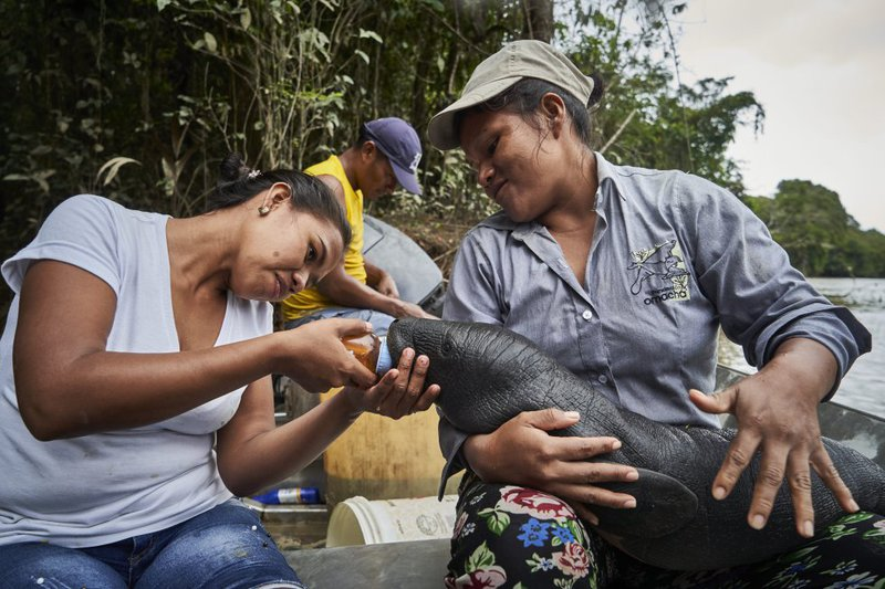 Lilia y Karina, from the Natütama Foundation, fed a manatee that they found on the edge of the Amazon River, while trying to locate its mother.