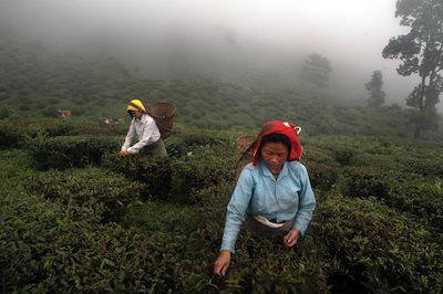 Darjeeling tea production at Makaibari Garden