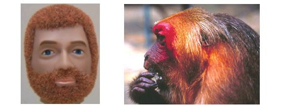 red beards, macaques