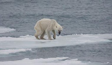 640px-Endangered_arctic_-_starving_polar_bear.jpg