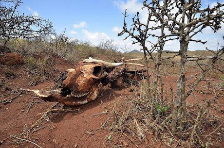 A livestock carcass in Northern Kenya after a prolonged drought. Niel Palmer:CIAT:Some rights reserved.jpg