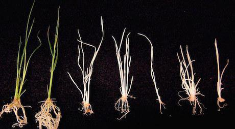 CRISPR modified rice. Penn State/Flickr. Some rights reserved