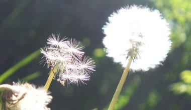 Dandelions_0.jpg