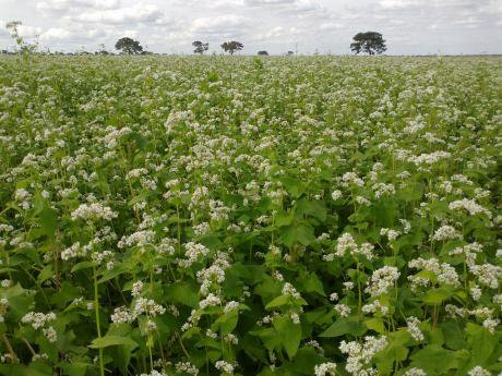 Field of buckwheat_wiki.jpg