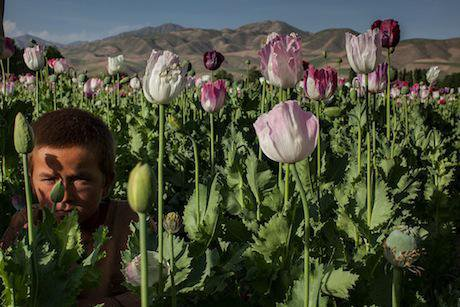 Poppy cultivation in Badakhshan, Afghanistan. Getty Images / Paula Bronstein. All rights reserved.