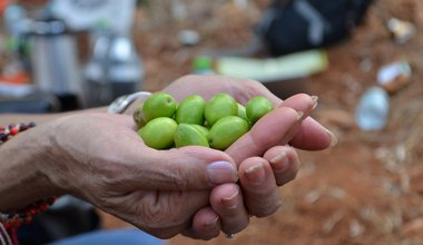 OD UAWC olive harvest West Bank.JPG