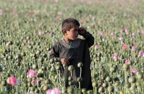 Poppy field, Kandahar, Afghanistan, 2016. Allauddin Khan/AP/Press Association Images. All rights reserved.