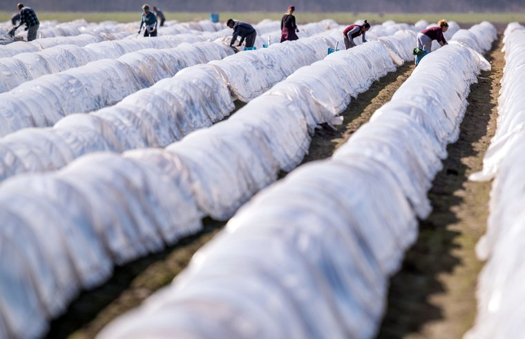 Workers from eastern Europe harvest the first asparagus of the season in a field in northern Germany. April 7,2020.