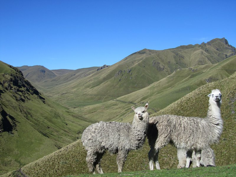 Alpacas in the páramo; Cotopaxi province, Ecuador