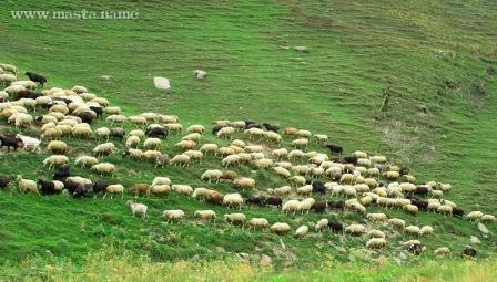 Sheep_farming_dagestan.jpg