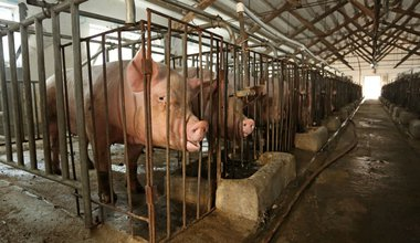 pigs_standing_in_cages.jpg