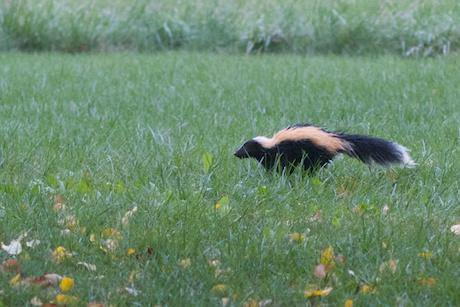 A much nicer skunk. Alan Levine/Flickr. Some rights reserved.