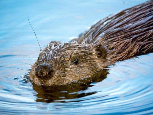 young beaver.jpg